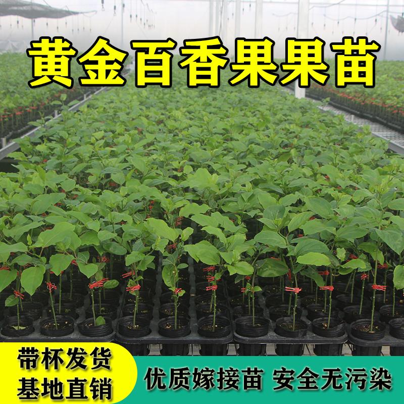 万怡 黄金百香果种苗 25cm*100株